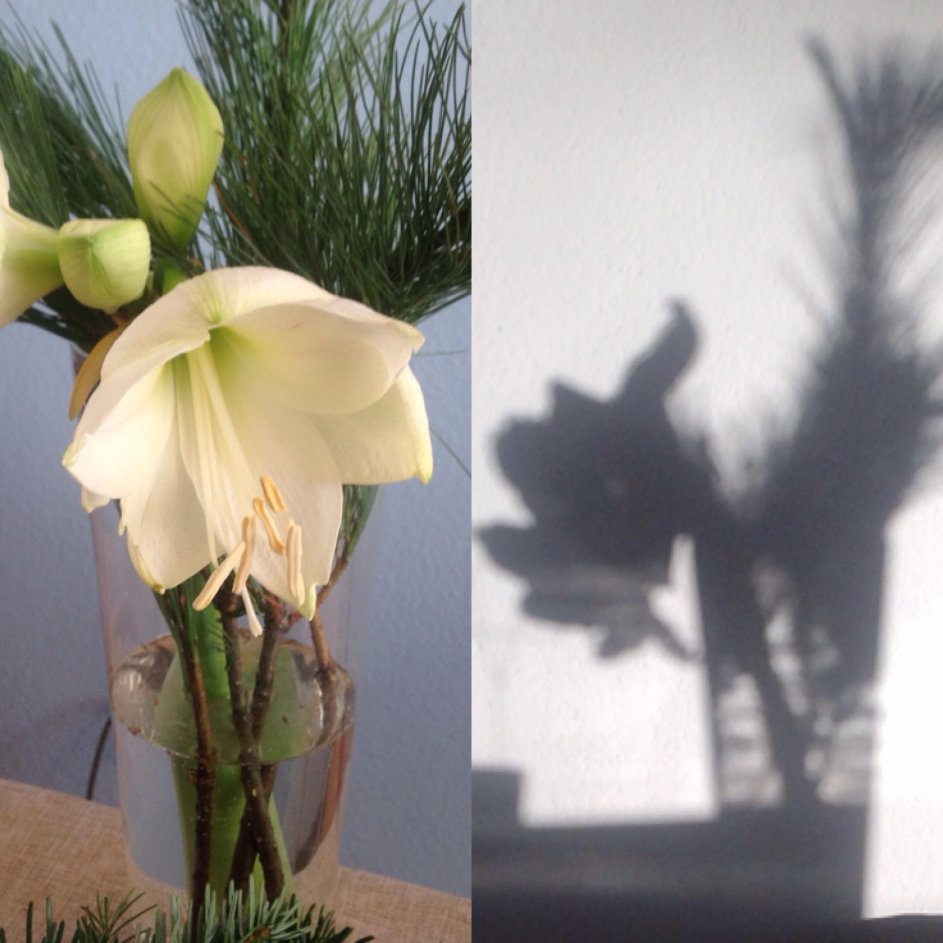 Friday – Flowerday – oder – Eine Amaryllis in Licht und Schatten