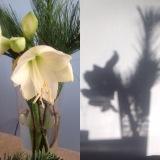 Friday – Flowerday – oder – Eine Amaryllis in Licht undSchatten