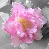 Friday-Flowerday – oder – Tulpenextravagant