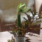 Friday-Flowerday – oder – Weiß wie ein Schaffell: Amaryllis, dieI.