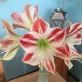 Friday-Flowerday – oder – Amaryllis: weiß undrot