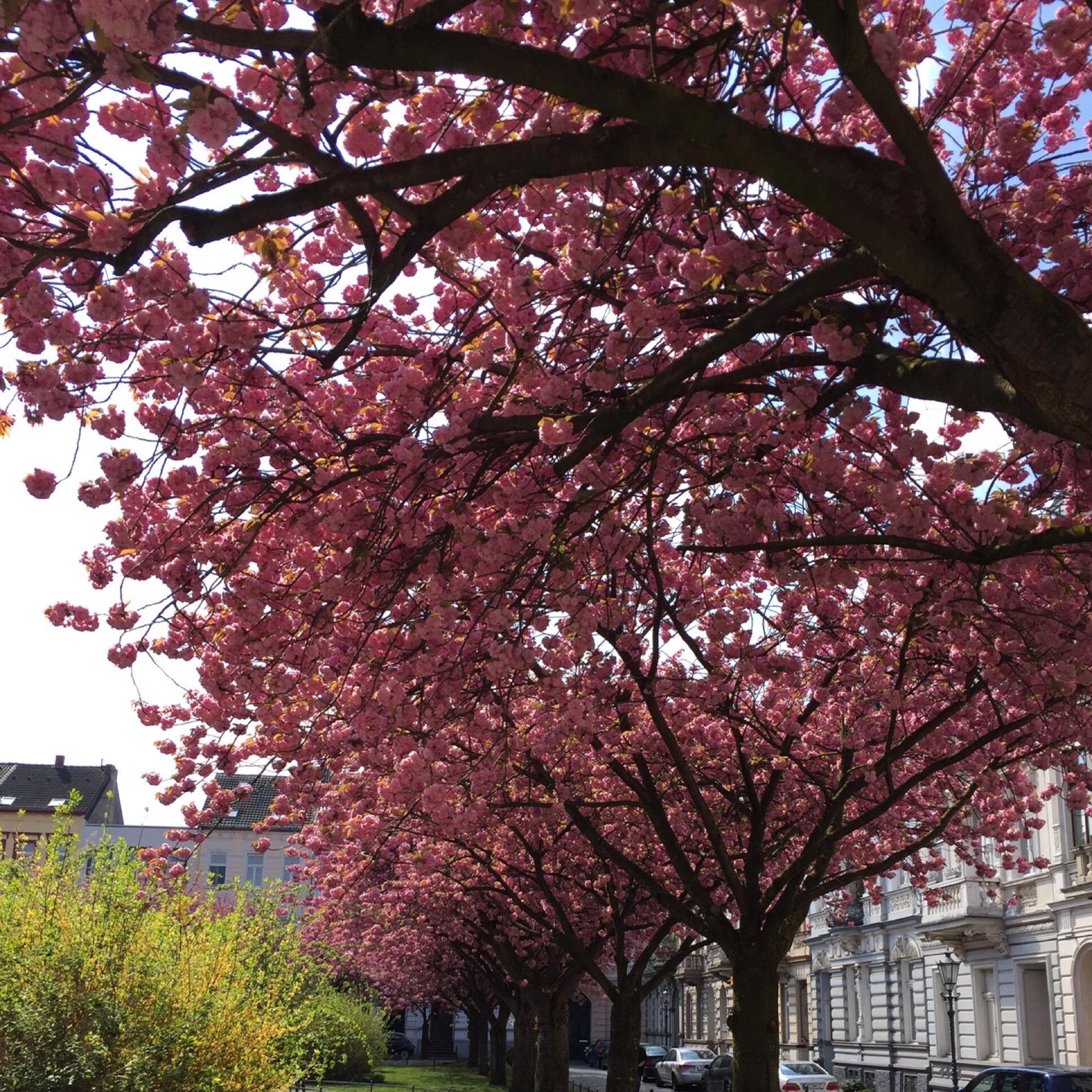 12 von 12 im April 2019 – oder – Von Kirschblüten, Struwen und rosa Eiern