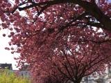 12 von 12 im April 2019 – oder – Von Kirschblüten, Struwen und rosaEiern