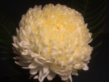 Friday-Flowerday – oder – Eine Chrysantheme zum 1.November