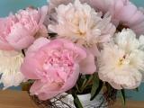 Friday-Flowerday – oder – Volle Pracht voraus:Pfingstrosen