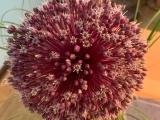 Friday-Flowerday – oder – Jetzt geht's rund:Allium